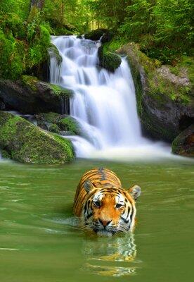 Plakat Tygrys syberyjski w wodzie