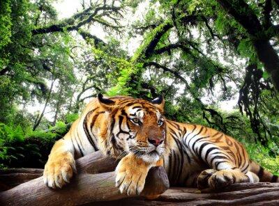 Plakat Tygrys szuka coś na skale w lesie tropikalnym wiecznie