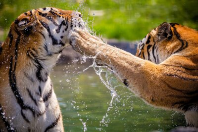 Plakat Tygrysy
