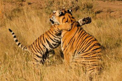 Plakat Uczuciowy moment, między tygrysa bengalskiego i jej cub