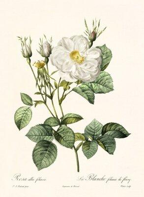 Plakat Utworzone przez PR Redoute, opublikowane w Les Roses, Imp. Firmin Didot, Paryż, 1817-24