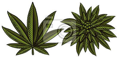 Vector illustration of cannabis leafs.