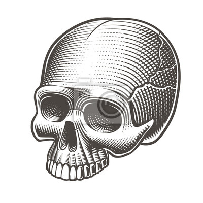 Vector illustration of the skull without the lower jaw