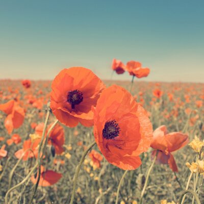 Plakat Vintage photo of summer landscape with wild poppy flowers.
