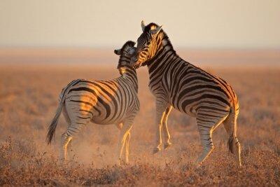 Plakat Walcząc równiny zebry, Park Narodowy Etosha