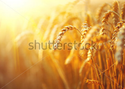 Plakat Wheat field. Ears of golden wheat close up. Beautiful Nature Sunset Landscape. Rural Scenery under Shining Sunlight. Background of ripening ears of meadow wheat field. Rich harvest Concept