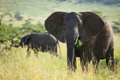 Plakat Wielki Słoń afrykański w Parku Narodowym Serengeti