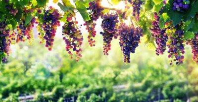 Plakat Winiarstwo słońca, które dojrzewają winogrona