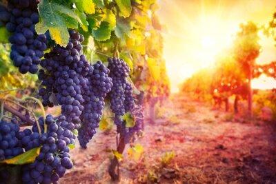 Plakat winnic z dojrzałych winogron w wiejskich na zachodzie słońca