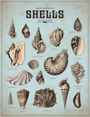 Plakat sea -life grafiki : muszle (1)