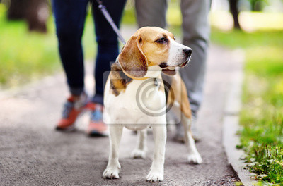 Plakat Young couple with Beagle dog wearing in collar and leash walking in the summer park.