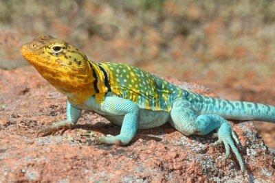 Plakat Zachodnia Collard Lizard (Crotaphytus collaris)
