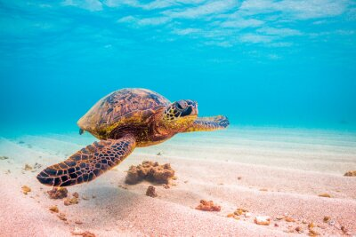 Plakat Zagrożone rejsy Hawaiian Green Sea Turtle w ciepłych wodach Oceanu Spokojnego na Hawajach
