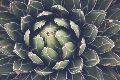 Plakat Zamknąć z agawy Sukulenty, selektywne fokus, tonowania