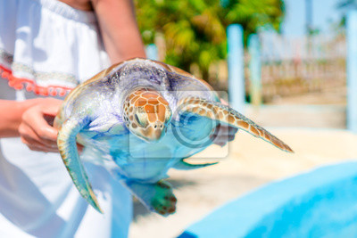 Plakat Zamknij się żółw morski w ręce kobiet w egzotycznych rezerwy