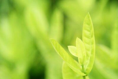 Zbliżenie zoom widok natury zieleni liście w domowym ogródzie na zamazanym zieleni tle z miękkim światłem słonecznym, niski kontrast. Dobre dla koncepcji produktów ekologicznych lub minimalistycznych