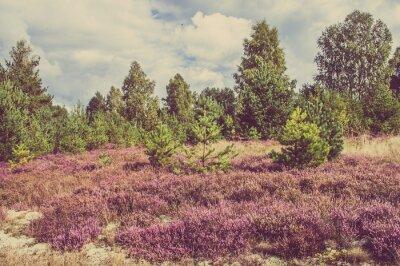 Plakat Zdjęcia archiwalne wrzosu w lesie, na wsi krajobrazu.