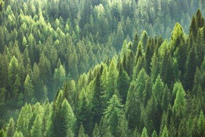 Plakat Zdrowe zielone drzewa w lesie stary świerk, jodła i sosna