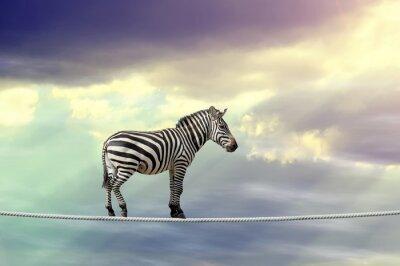 Plakat Zebra chodzenie na linie