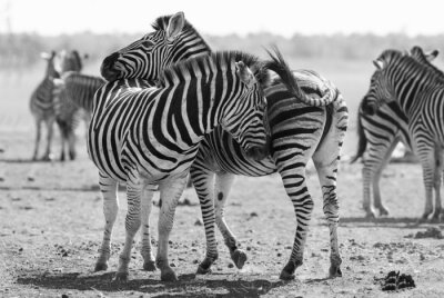 Plakat Zebra herd in black and white photo with heads together