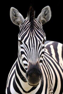 Plakat Zebra isolated on black