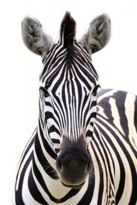 Plakat Zebra isolated on white