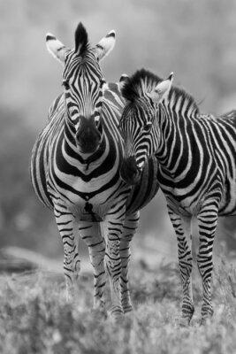 Plakat Zebra klacz i źrebię stojących blisko siebie w buszu dla bezpieczeństwa A
