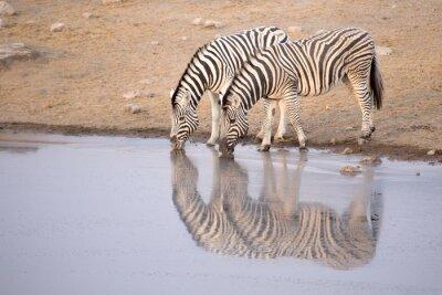 Plakat Zebra picia z otworem wody
