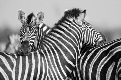 Plakat Zebra stada w czarno-białe zdjęcie z głowami