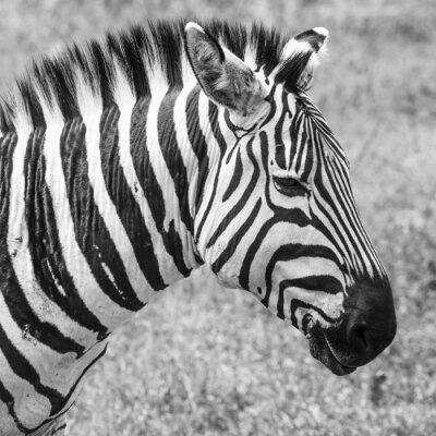 Plakat Zebra w Parku Narodowym. Afryka, Kenia
