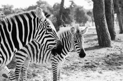 Plakat Zebra w Safari w Tel Awiwie