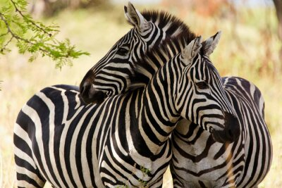 Plakat zebry