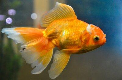 Plakat Złota ryba, rybka podwodne