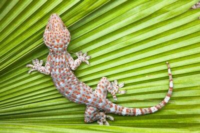 Plakat Znaleziono gecko na zielonym liści palmowych.
