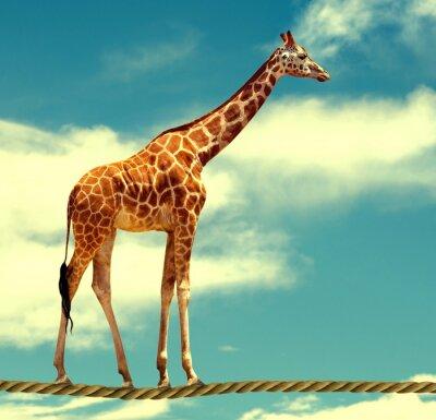 Plakat żyrafa na liny