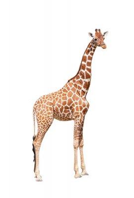 Plakat Żyrafa na mocy. To jest izolowana na biały