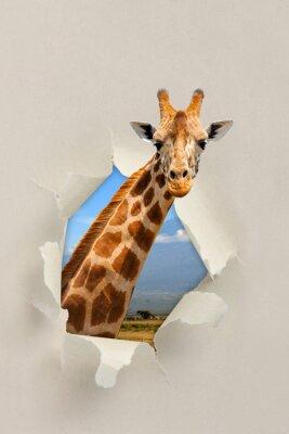 Plakat Żyrafa patrząc przez otwór podarte papieru