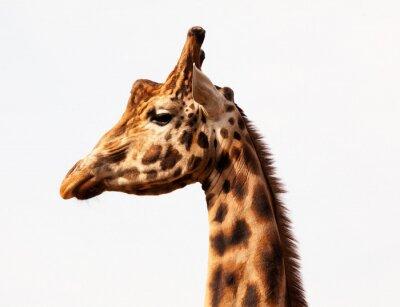 Plakat Żyrafa profil