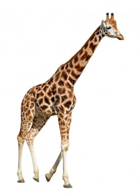 Plakat żyrafa samodzielnie na białym tle