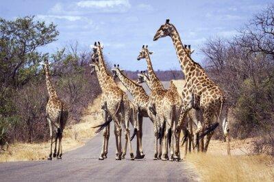 Plakat Żyrafa w Park Narodowy Krugera