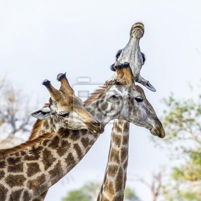 Plakat Żyrafa w Park Narodowy Krugera, Republika Południowej Afryki