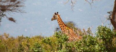 Plakat Żyrafa w Tsavo East National Park