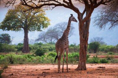 Plakat Żyrafa z baobabu