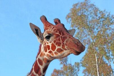 Plakat Żyrafa zdjęcia