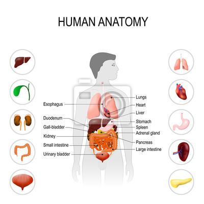Anatomia Człowieka Plakat Medyczny Jelito Grube śledziona