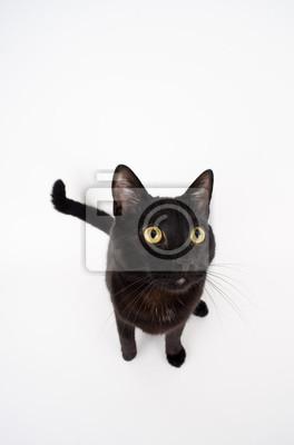 Czarny Kot Na Białym Tle 1 Close Up żółty Myloviewpl
