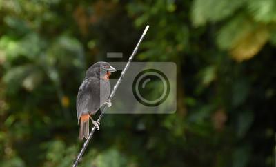 Mała Antillean Gil Mężczyzna Caribbean Czarny Ptak Anguilla