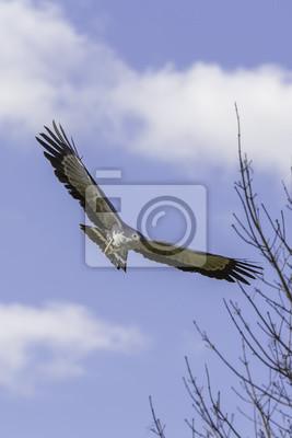 Owadożer Palmowy Ptaków Drapieżnych W Locie Hawking W Locie