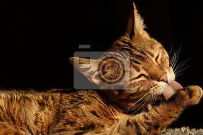 Świeże Piękny kot bengalski • godny podziwu, ładny, język | myloview.pl HK01
