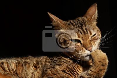 Nietypowy Okaz Śliczny kot bengalski • | myloview.pl BF37